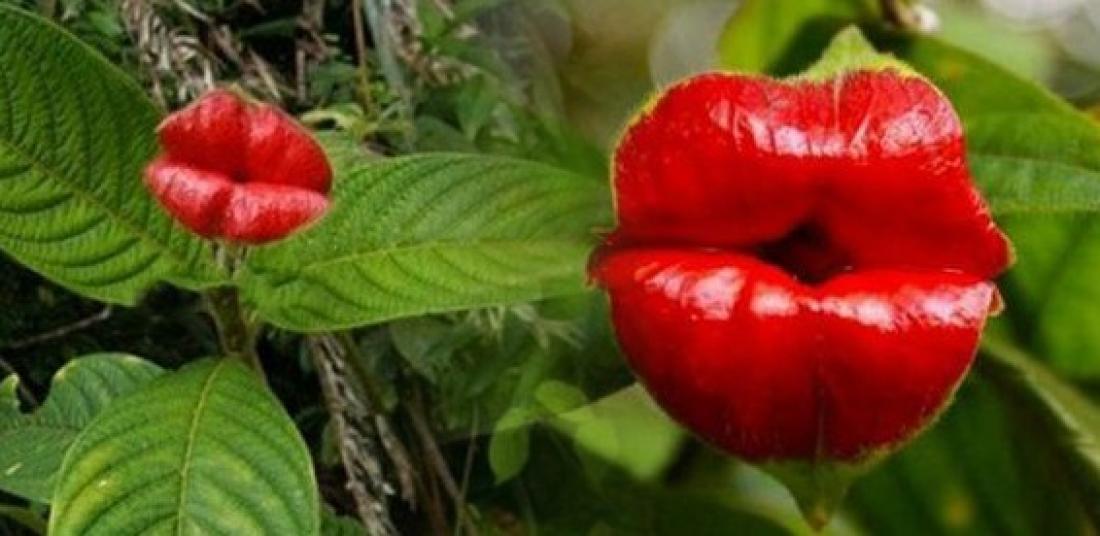 Цветок в виде губ фото