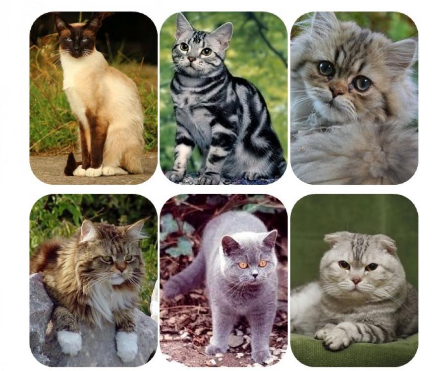Mit mesél rólad a kedvenc macskafajtád?